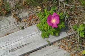 Boardwalk Flower