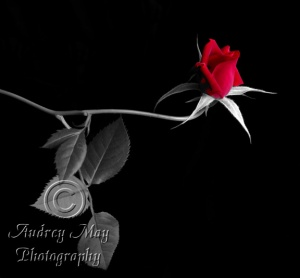 Selective Color Rose