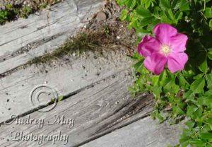 Boardwalk Flower Revisited