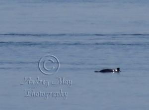 Dolphin 1 (Quoddy)