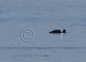Dolphin 2 (Quoddy)