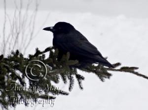 Raven on a Pine Branch