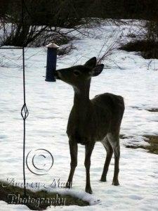 Deer at the Bird Feeder 1
