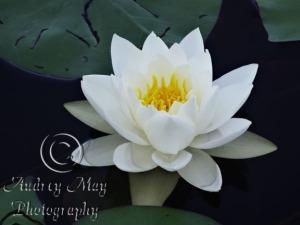 Lotus Blossom 1