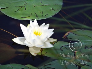 Lotus Blossom 2