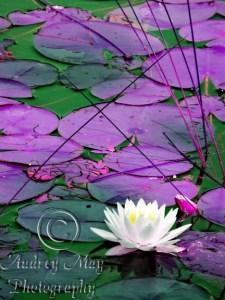 Lotus Blossom 3 (Artistic)