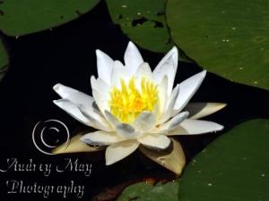 Lotus Blossom 4