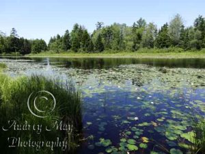 Lotus Blossom Pond