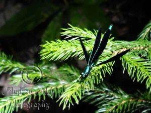 Metallic Green Dragonfly