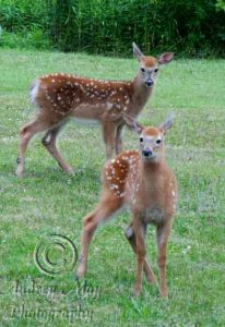 Two Fawns that were in my front yard with their mother!