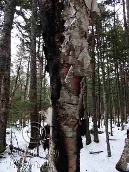 Charred Tree 01