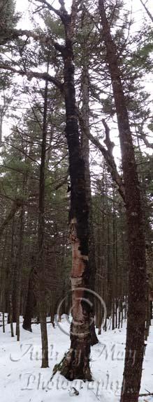 Charred Tree 02