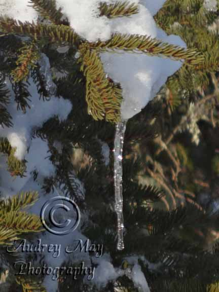 Icicle in a Pine Tree