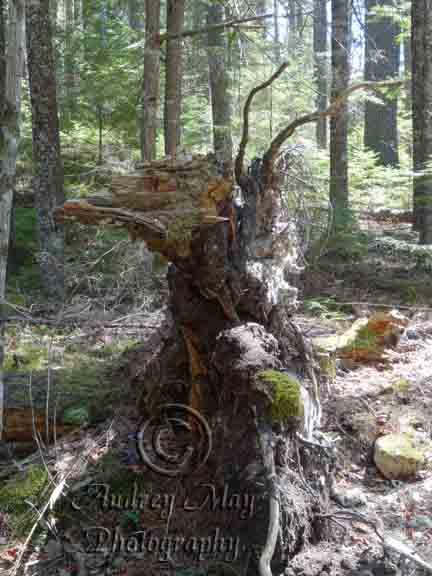 Skeksi Tree Root