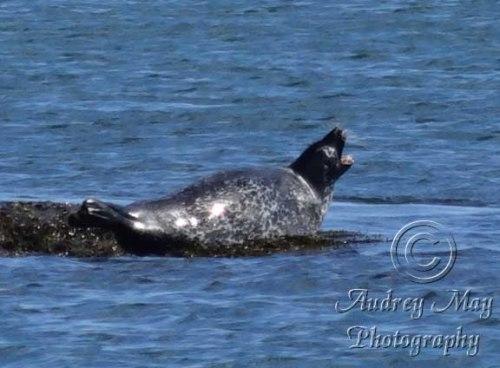 Seal Call