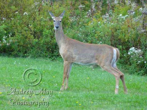 Young Deer in my Yard