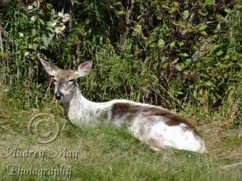 Semi-Albino Deer 1