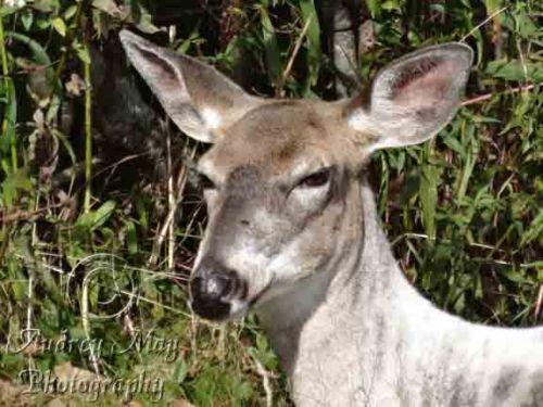 Semi-Albino Deer 2