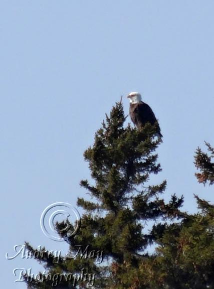 PMWR Bald Eagle